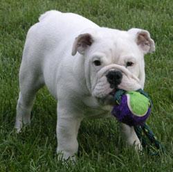 Full grown american bulldogs - photo#15